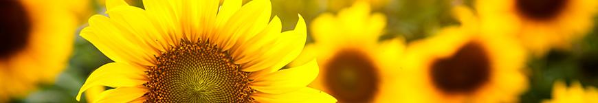 Significado flor girassol